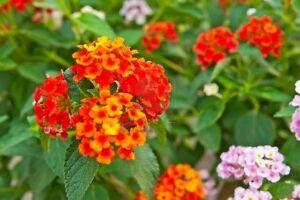 5 pz lantana camara pianta ornamentale piante ornamentali for Piante da cespuglio