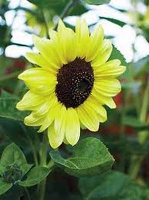 SUNFLOWER, LEMON QUEEN, 20+ SEEDS ORGANIC LARGE BEAUTIFUL VIVID COLORFUL BLOOMS