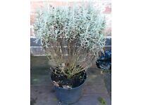 Santolina chamaecyparissus / Cotton Lavender