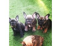 FRENCH BULLDOGS 6 STAND OUT (At/DD/aykcreg)