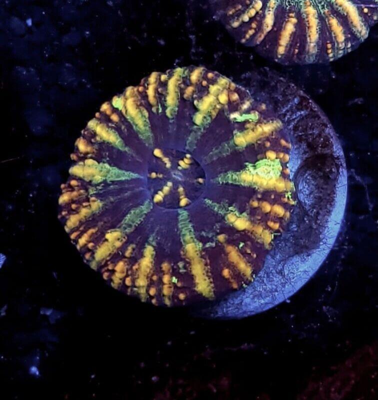 Scolymia Scoly Coral WYSIWYG