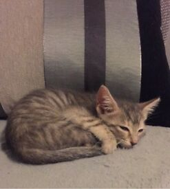 Young Grey Female Kitten