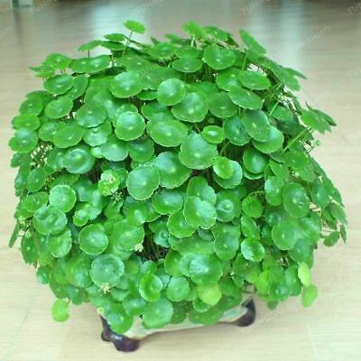 100 seeds Hydroponics Flower Aquarium Plants Penny Grass Seed Best Indoor (Best Indoor Plant Seeds)