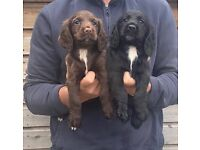 Cocker spaniels Ready to leave now