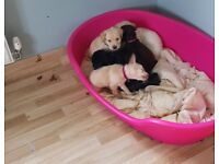 Black labrador puppy for sale ready for rehomeing now