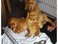 *REDUCED* Golden/apricot Cocker spaniel puppies