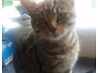 Bengel male cat found with blue collor bell and patten on