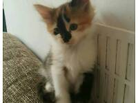 Calico girl kitten