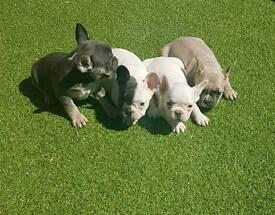 Gorgeous Blue/Tan/Choc Girl French Bulldog Puppies DM JHC Clear