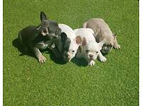 Gorgeous Blue/Tan/Choc Girl French Bulldog Puppies DM JHC Clear