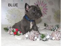 Blue girl French Bulldog Must be seen
