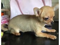 Pedigree Male chihuahua