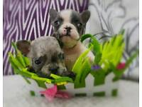 French Bulldog Puppies - Merle - various colours