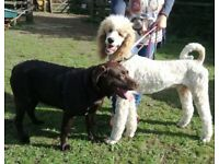 LABRADOODLE F1 PUPPIES - 1 GIRL LEFT