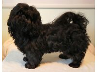 Shih tzu bitch pup, 6 month old, black, very well natured £200