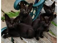 Black Kittens For Free
