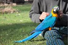 Handraised Baby Blue and Gold Macaw For Sale Hornsby Hornsby Area Preview