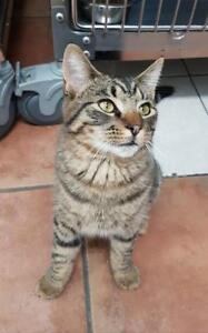 "Young Male Cat - Domestic Short Hair: ""Yogi"""