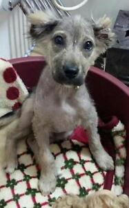 """Young Male Dog - Terrier: """"TOMMY"""""""