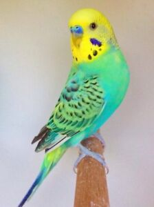 Looking for fancy budgies