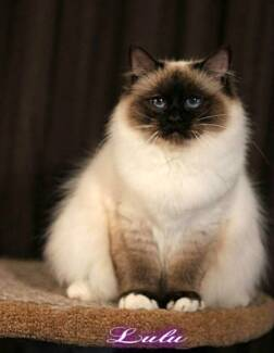 Young Birman Looking for her Forever Home Barmera Berri Area Preview