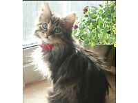 6 month old female long hair cat looking for good home