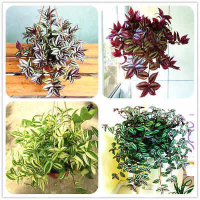 100Pcs Zebrina Pendula Seeds Bonsai Beautiful Potted Plants Best Air