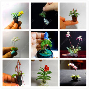 100PCS-Rare-Mini-Orchid-Seeds-Seed-Flower-Phalaenopsis-Indoor-Miniature-Garden