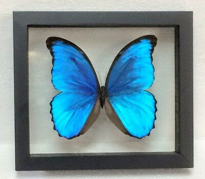 Blue Morpho Didius  Double Glass Black Frame  Butterfly  Lepidoptera