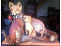 Fox and cub with lunch...taxidermy