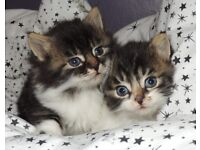 ----- Adorable Siberian x kittens -----
