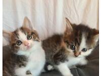 Ragdoll cross Kittens Loving :)