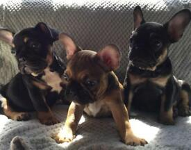 ** READY NOW** Kc Registered French Bulldog Puppies