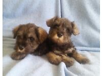 Miniature | Dogs & Puppies for Sale - Gumtree
