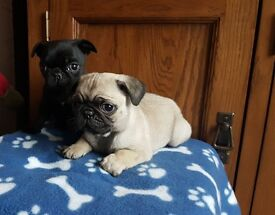 Pug Puppy KC Reg and Vaccinated