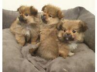 Peekapom pekingnese x Pomeranian boy puppies