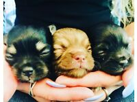 Pedigree long haired chihuahua puppies