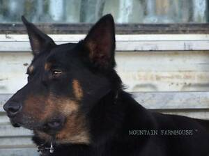 4 YO Male Working Kelpie Fully Trained Alonnah Kingborough Area Preview