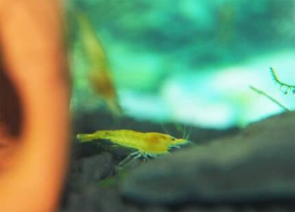Yellow shrimp only for 7.5 dollars each Beverly Hills Hurstville Area Preview