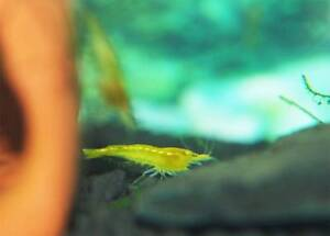 Yellow cherry shrimp on sale UP TO $5 EACH! Beverly Hills Hurstville Area Preview