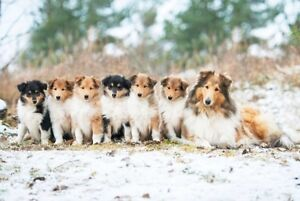 Wanted Rough Collie Pup