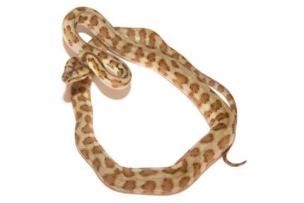 FOR SALE: Super Orange Pepper Jag Pythons Ipswich Ipswich City Preview