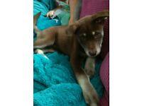Husky x Malamute puppy