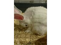 White male rabbit for sale (blue eyes)