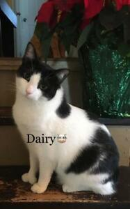 "Adult Male Cat - Domestic Short Hair: ""Dairy"""