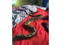 Ball python + 3ft set up