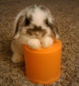 Beautiful mini lop rabbits