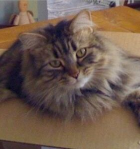 Wanted : Maine Coon