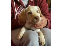 BEAUTIFUL GOLDEN LABRADOR PUPPIES. STILL AVAILABLE.