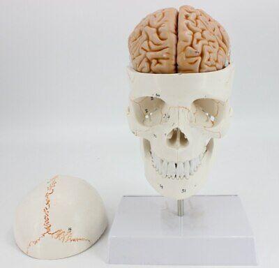 11 Skull Brain Anatomical With Digital Coding Cervical Spine Skleotn Model